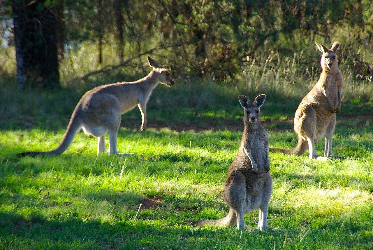 Vivez une excursion à l'île des kangourous en Australie